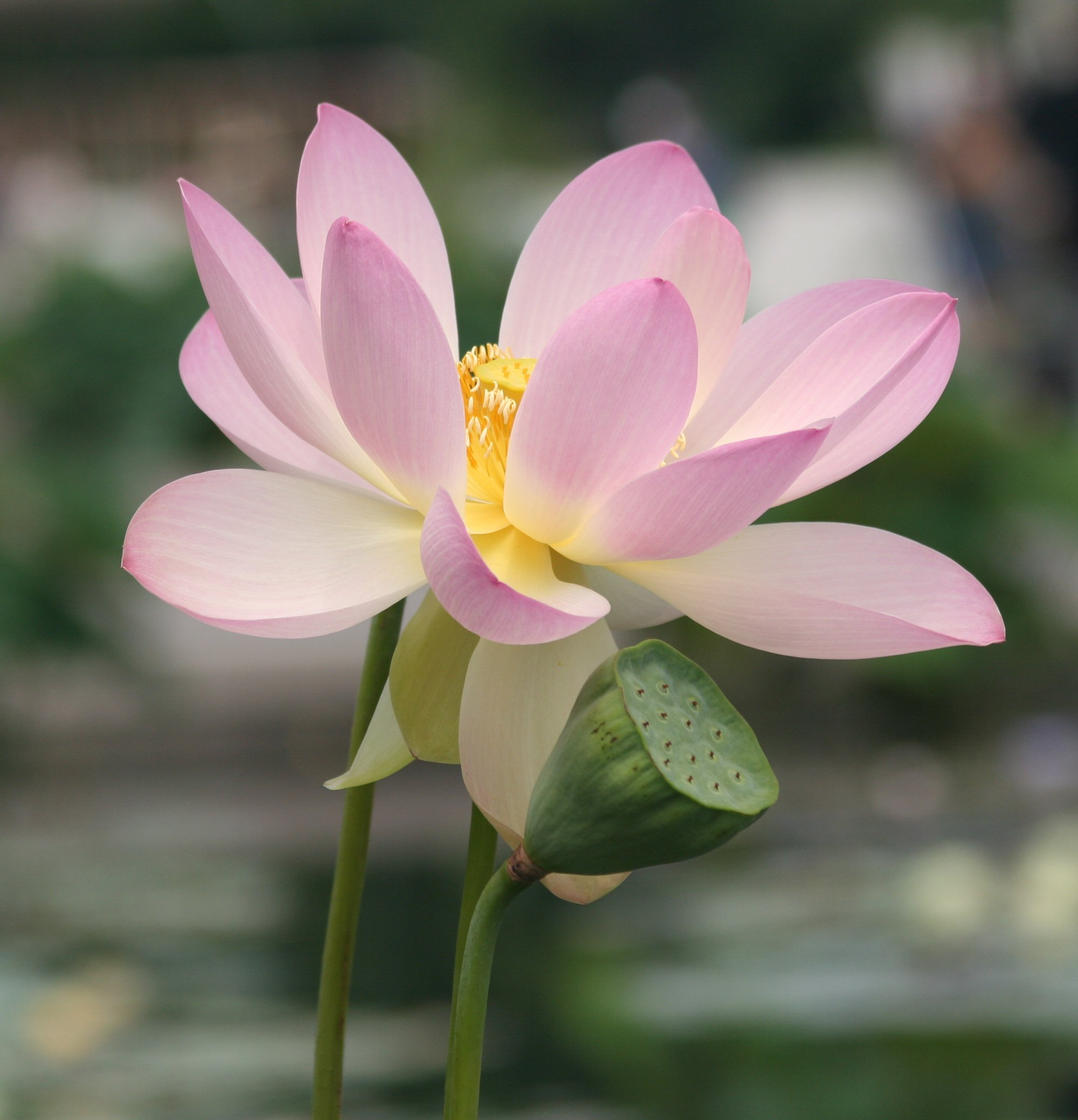 Lotus Blossom Franklin