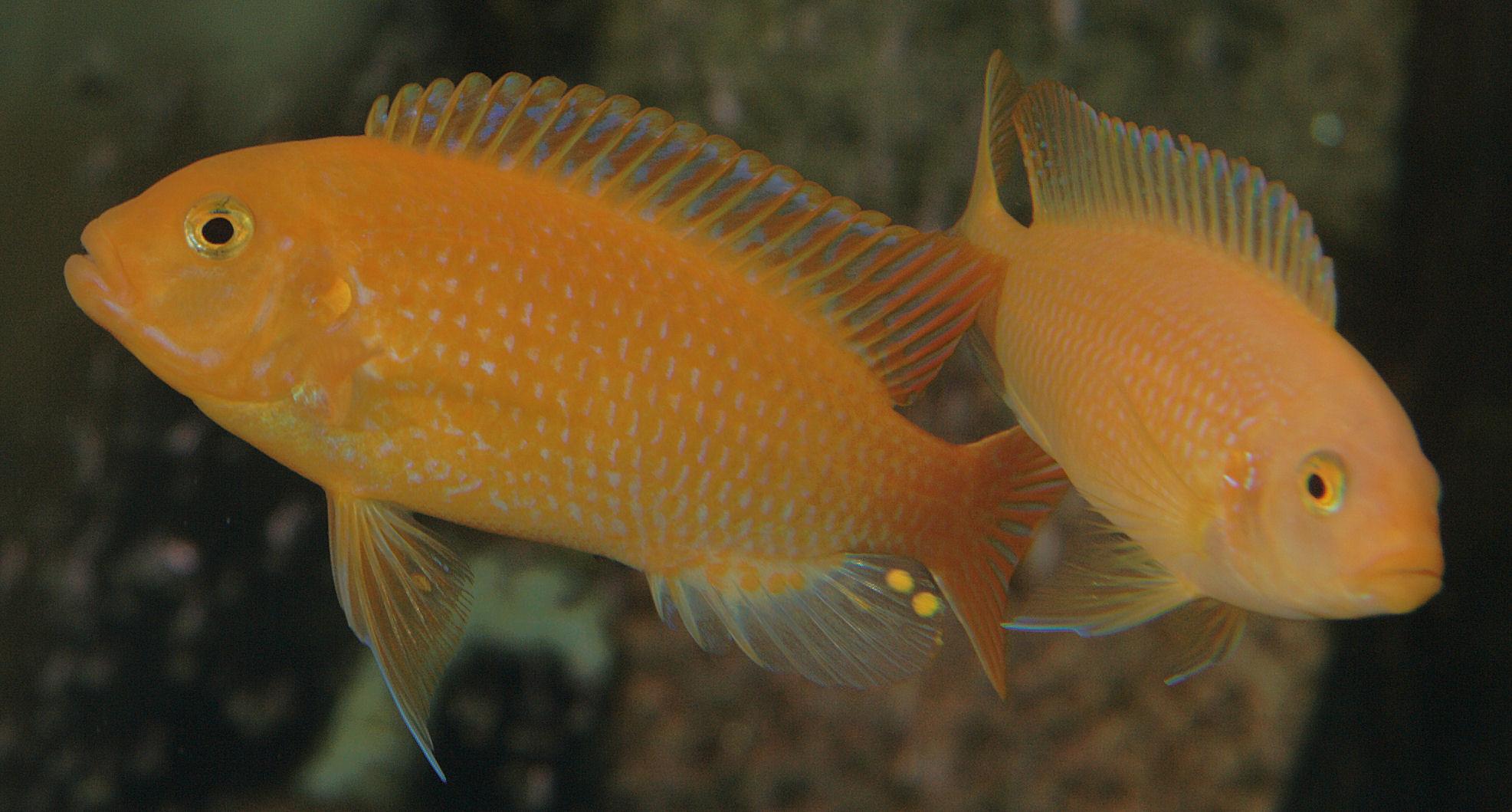 yellow cichlid fish - photo #9